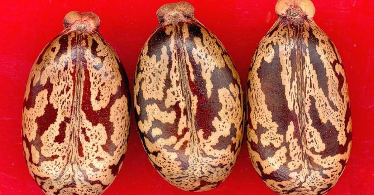 Καστορέλαιο Σπόροι