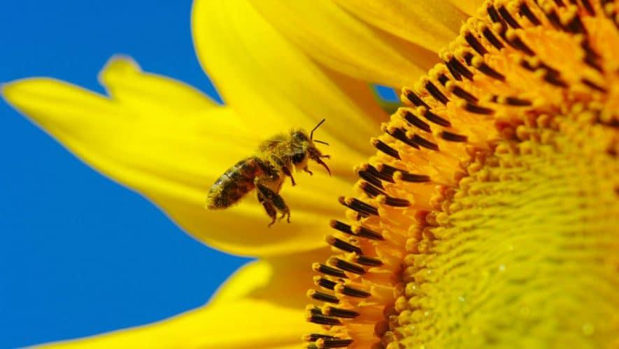Γύρη Μελισσών: Ιδιότητες, Οφέλη, Αλλεργίες, Παρενέργειες, Τιμή