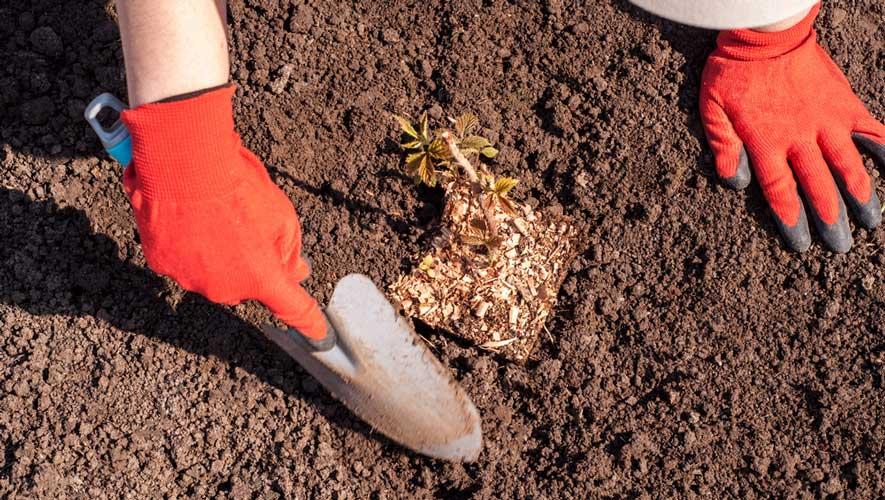 Καλλιέργεια Σμέουρων στο Έδαφος