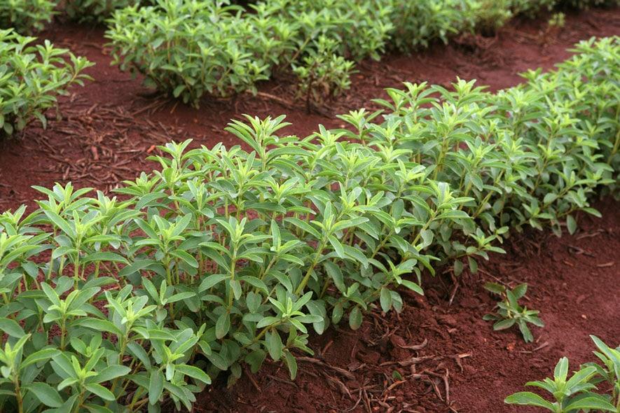 Στέβια Φυτό / Καλλιέργεια