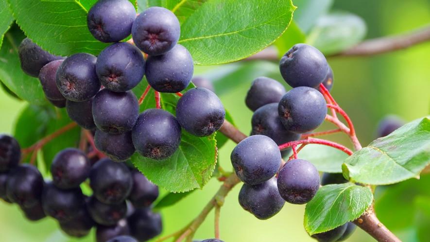 Αρώνια Φυτό / Καλλιέργεια